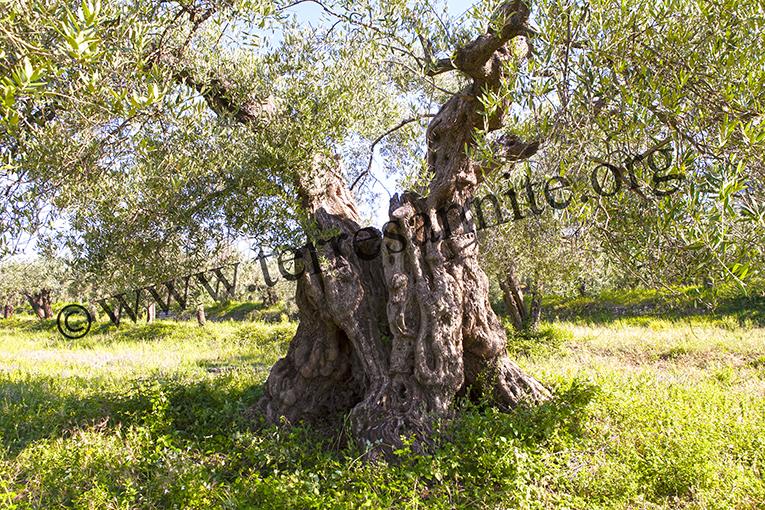 La Storia dell'Olio di Oliva