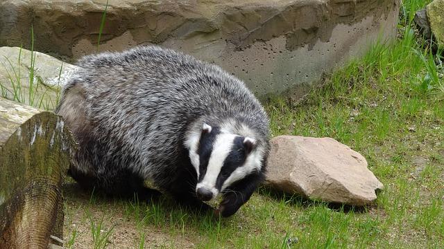 Tasso – Fauna Luzzano Moiano Sannio